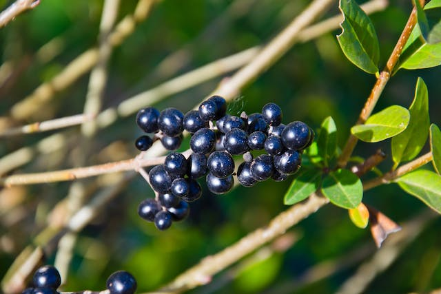 Common Privet Poisoning in Cats - Symptoms, Causes, Diagnosis, Treatment, Recovery, Management, Cost
