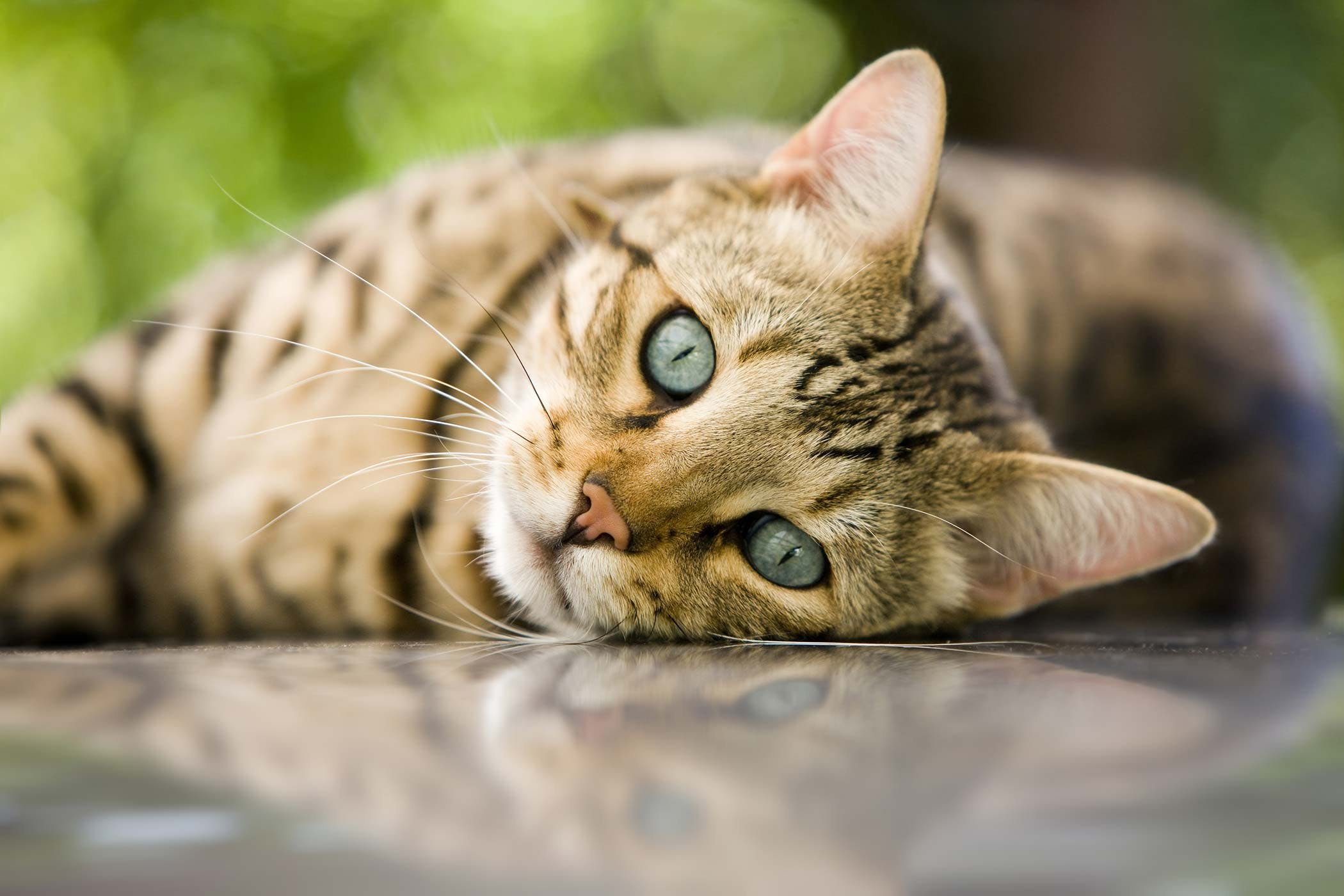 Congenital Heart Defects In Cats Symptoms Causes