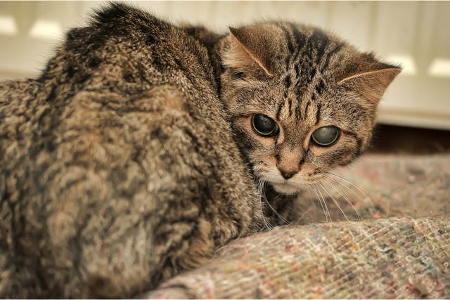 Corneal Disease in Cats - Symptoms, Causes, Diagnosis, Treatment, Recovery, Management, Cost