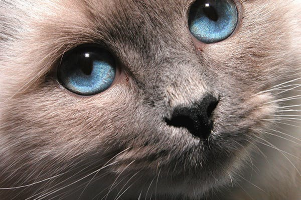 Corneal Laceration in Cats - Symptoms, Causes, Diagnosis, Treatment, Recovery, Management, Cost