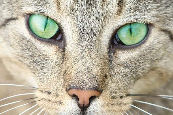 Corneal Sequestrum in Cats - Symptoms, Causes, Diagnosis, Treatment, Recovery, Management, Cost