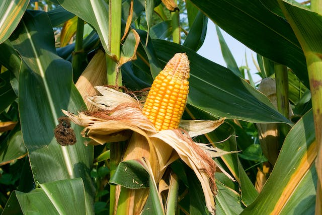 Cornstalk Plant Poisoning in Cats - Symptoms, Causes, Diagnosis, Treatment, Recovery, Management, Cost