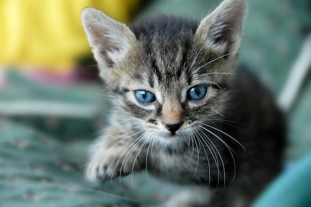 Coughing in Cats - Symptoms, Causes, Diagnosis, Treatment, Recovery, Management, Cost