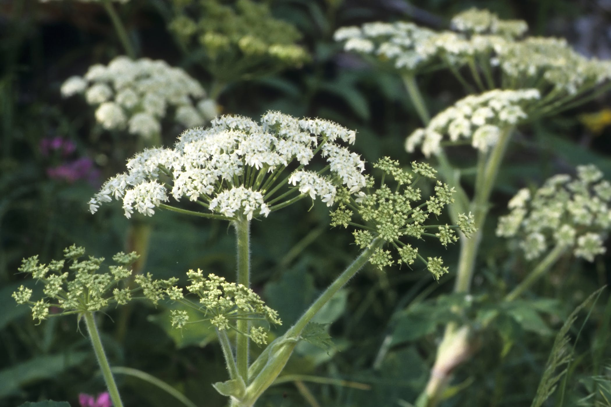 Cow Parsnip Poisoning in Cats
