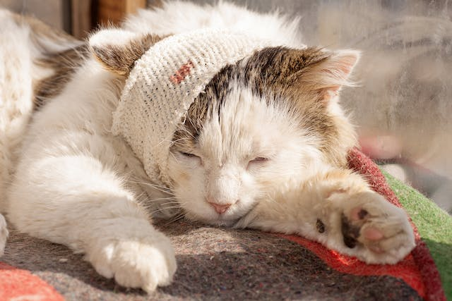 Craniectomy in Cats - Conditions Treated, Procedure, Efficacy, Recovery, Cost, Considerations, Prevention