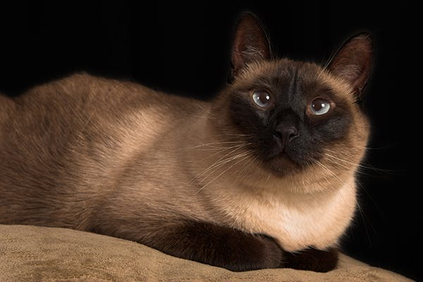 Crossed Eyes in Cats - Symptoms, Causes, Diagnosis, Treatment, Recovery, Management, Cost