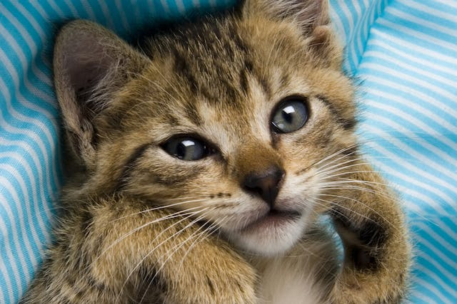 Cryptosporidiosis in Cats - Symptoms, Causes, Diagnosis, Treatment, Recovery, Management, Cost