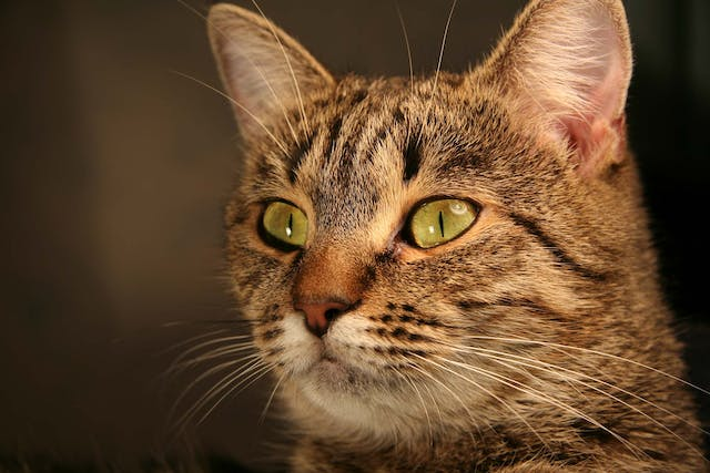 Crystals in the Urine in Cats - Symptoms, Causes, Diagnosis, Treatment, Recovery, Management, Cost