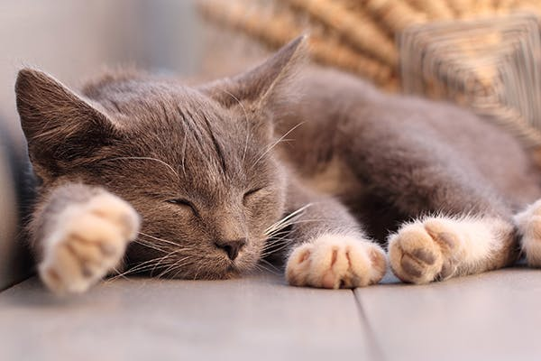 Cutaneous Lymphoma in Cats - Symptoms, Causes, Diagnosis, Treatment, Recovery, Management, Cost