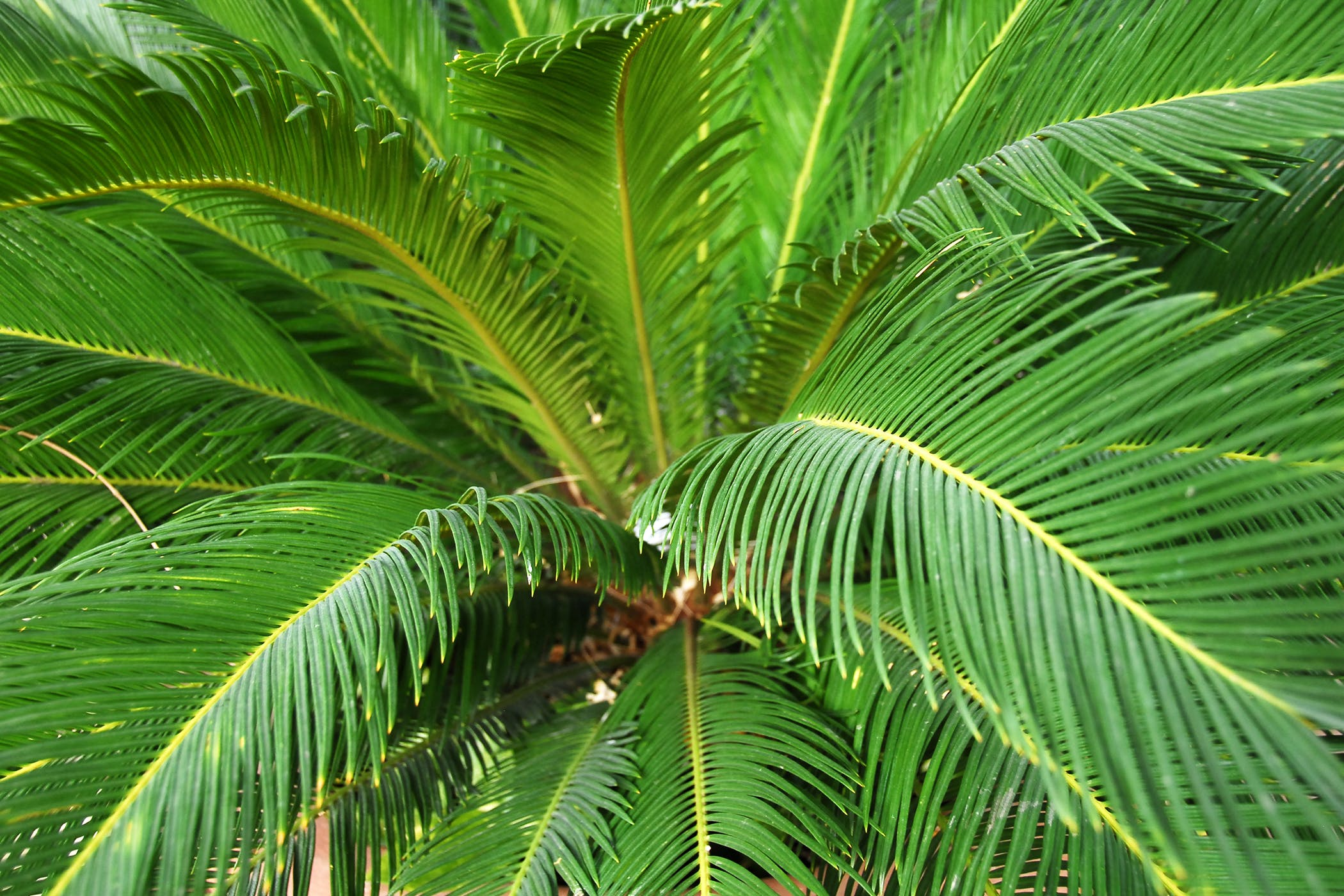 Cycad Poisoning in Cats