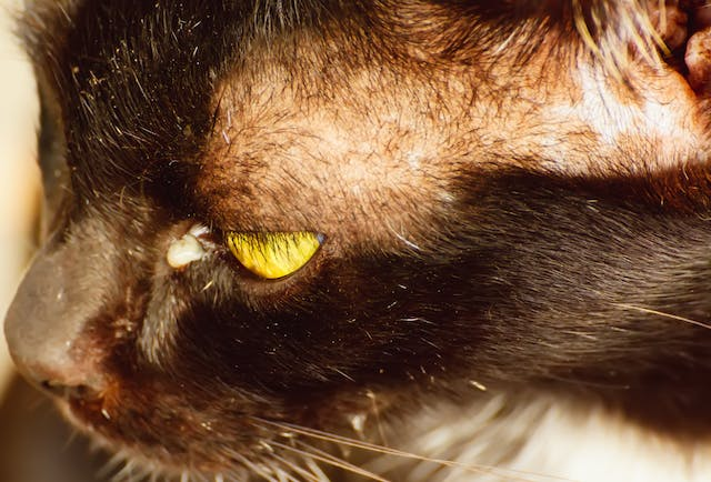 Cyclophotocoagulation in Cats - Conditions Treated, Procedure, Efficacy, Recovery, Cost, Considerations, Prevention