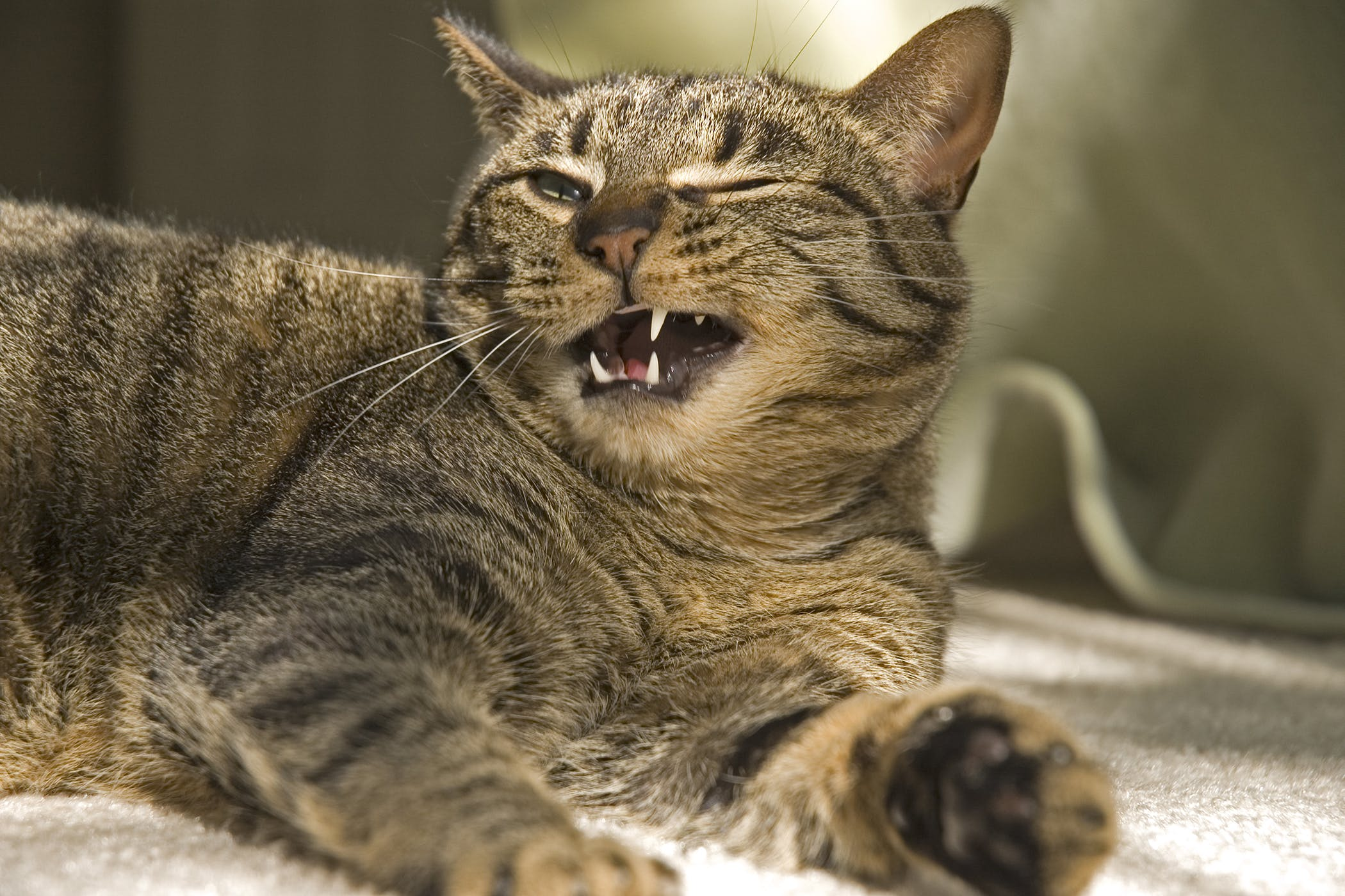Cysts on the Gums in Cats - Symptoms, Causes, Diagnosis
