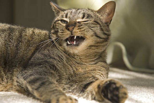 Cysts on the Gums in Cats - Symptoms, Causes, Diagnosis, Treatment, Recovery, Management, Cost