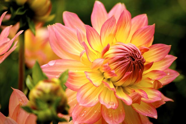 Dahlia Poisoning in Cats - Symptoms, Causes, Diagnosis, Treatment, Recovery, Management, Cost
