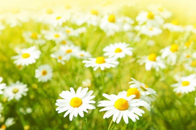 Daisy Poisoning in Cats - Symptoms, Causes, Diagnosis, Treatment, Recovery, Management, Cost