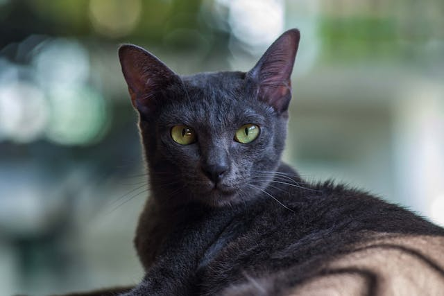Dark Spots on the Eye in Cats - Symptoms, Causes, Diagnosis, Treatment, Recovery, Management, Cost