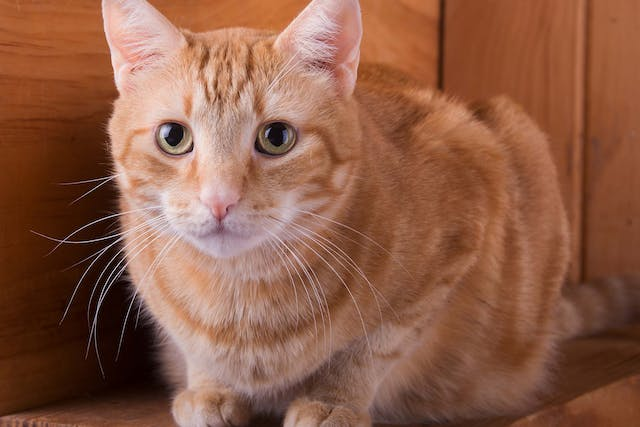 Deafness in Cats - Symptoms, Causes, Diagnosis, Treatment, Recovery, Management, Cost