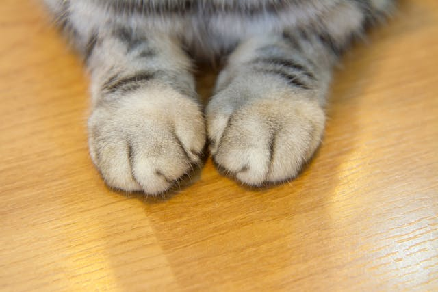 Declawing in Cats - Conditions Treated, Procedure, Efficacy, Recovery, Cost, Considerations, Prevention