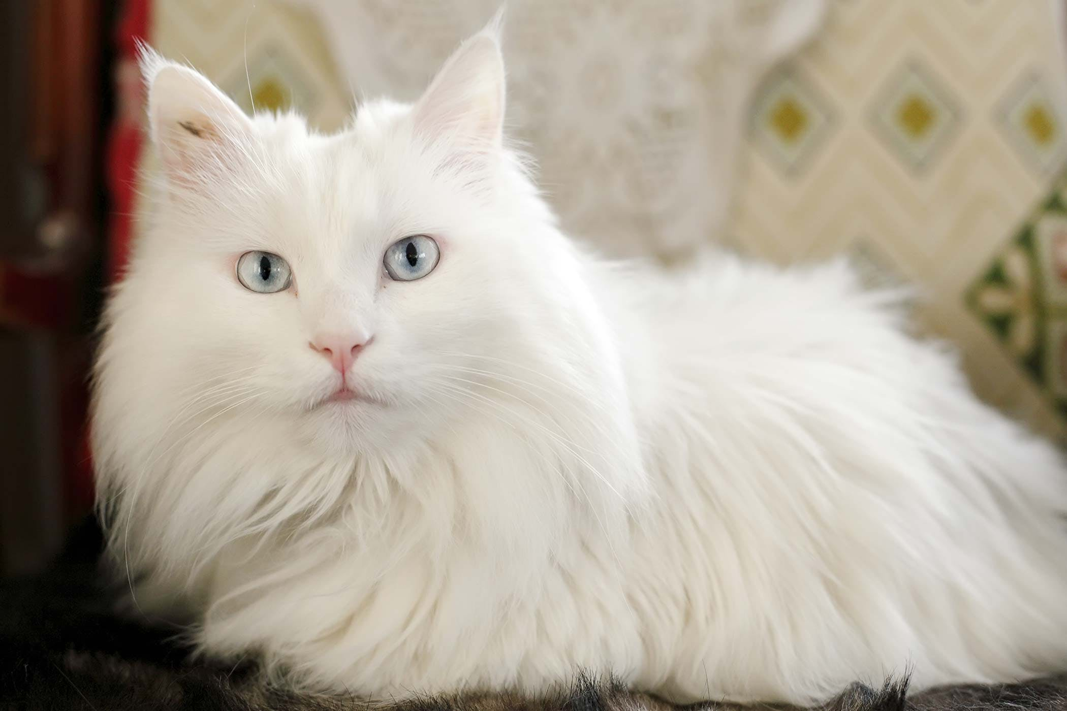 Defect of the Ventricular Septum in Cats - Symptoms, Causes ...