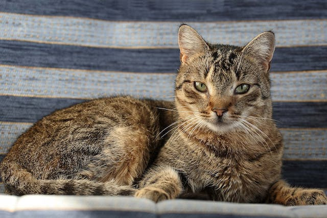 Degeneration of the Cerebellum in Cats - Symptoms, Causes, Diagnosis, Treatment, Recovery, Management, Cost