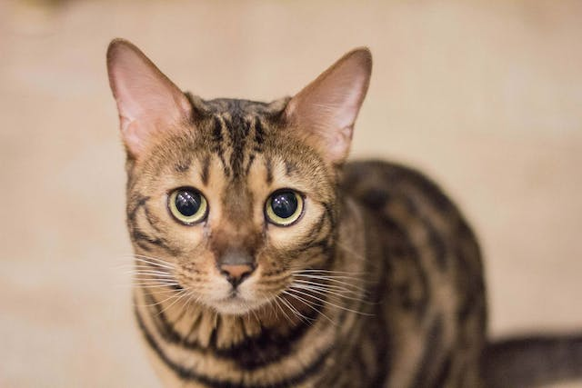 Degeneration of the Cornea in Cats - Symptoms, Causes, Diagnosis, Treatment, Recovery, Management, Cost