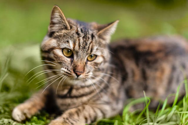 Degeneration of the Iris in the Eye in Cats - Symptoms, Causes, Diagnosis, Treatment, Recovery, Management, Cost