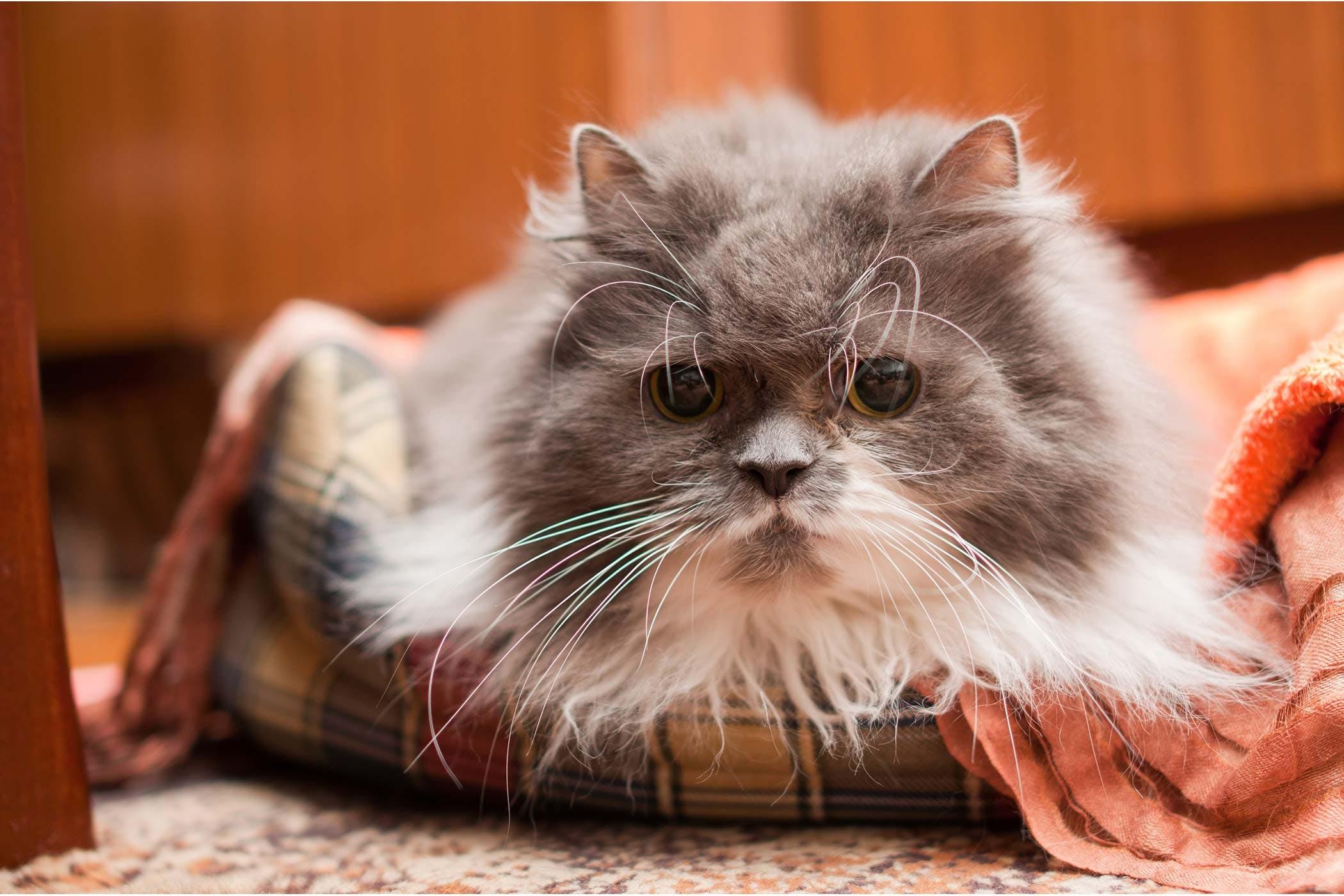 Degenerative Skin Disorders in Cats