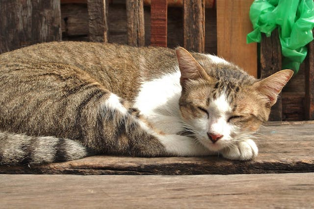Dementia in Cats - Symptoms, Causes, Diagnosis, Treatment, Recovery, Management, Cost