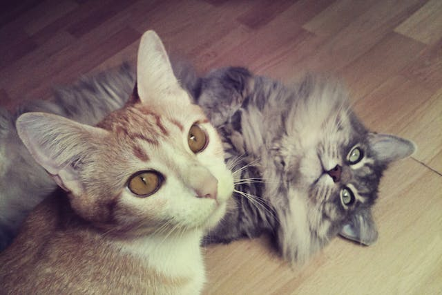 Demodectic Mange in Cats - Symptoms, Causes, Diagnosis, Treatment, Recovery, Management, Cost