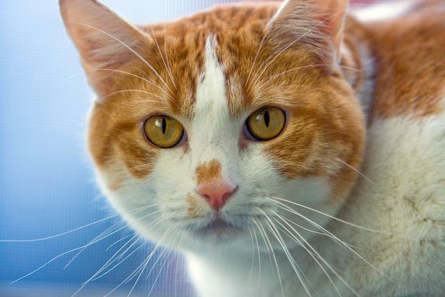 Depigmentation Disorders in Cats - Symptoms, Causes, Diagnosis, Treatment, Recovery, Management, Cost