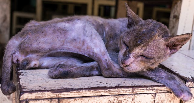 Dermatophagoides Farinae Allergy in Cats - Symptoms, Causes, Diagnosis, Treatment, Recovery, Management, Cost