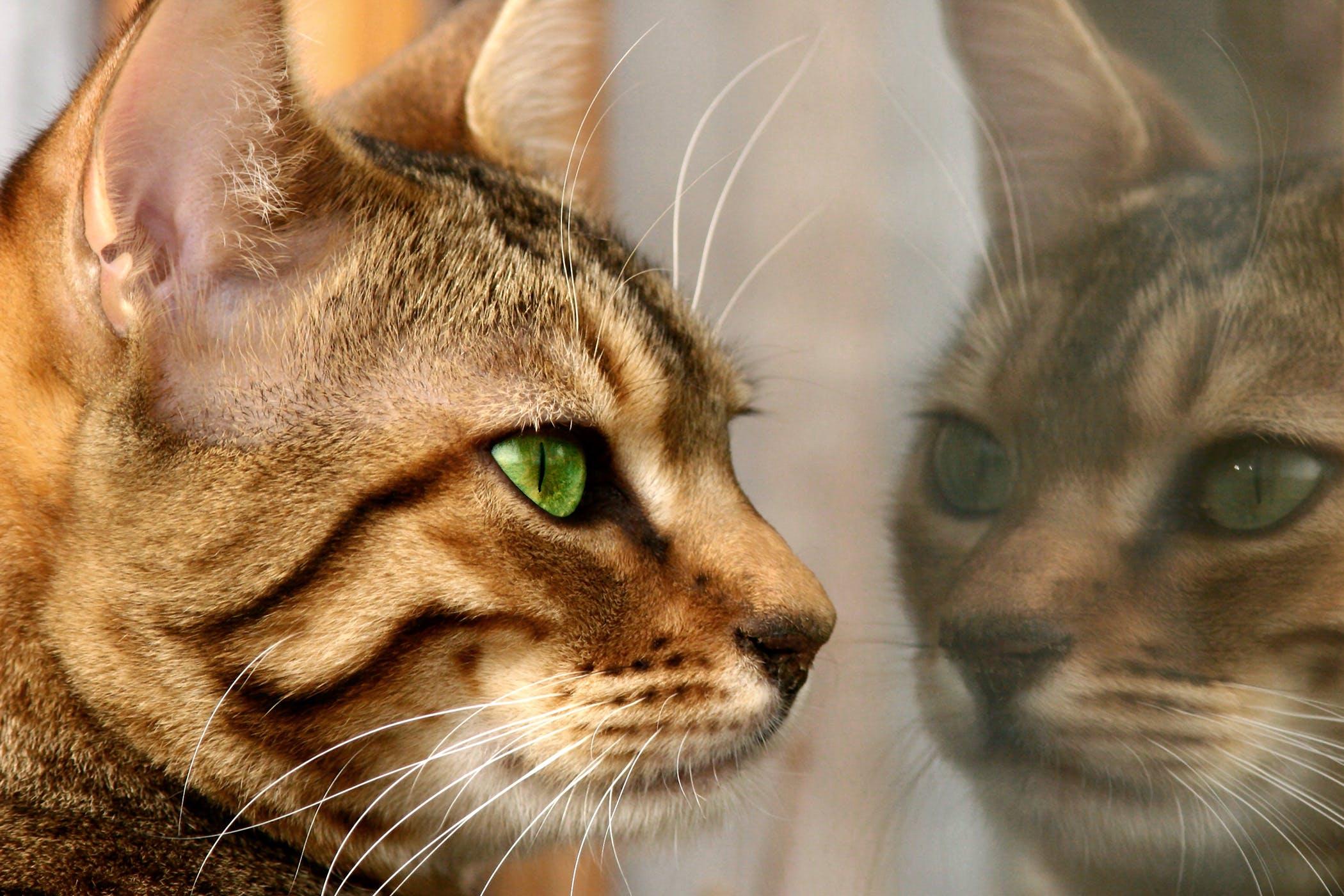 Dermoids in the Eye in Cats