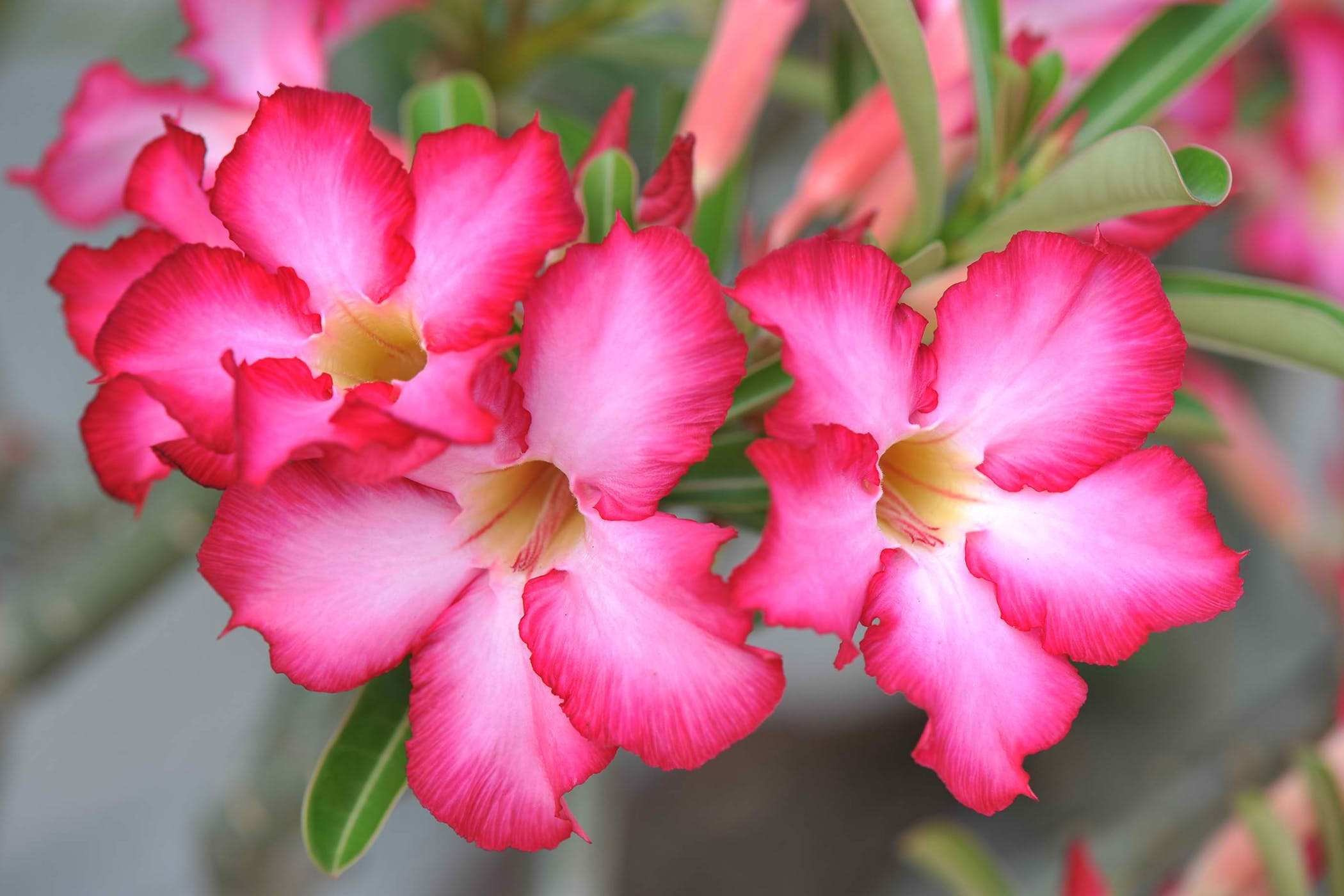 Desert Rose Poisoning In Cats Symptoms Causes