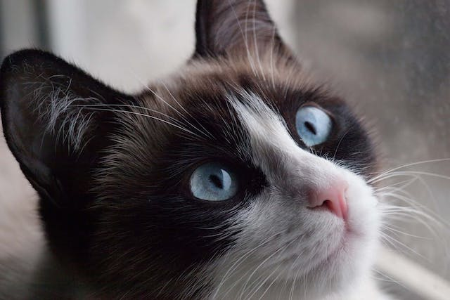 Diabetes with Coma in Cats - Symptoms, Causes, Diagnosis, Treatment, Recovery, Management, Cost