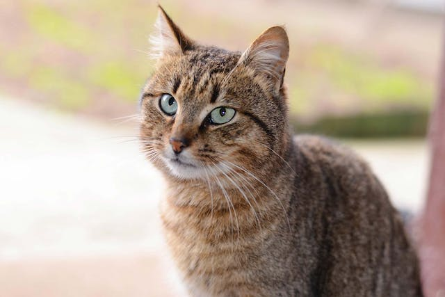 Diabetes with Ketone Bodies in Cats - Symptoms, Causes, Diagnosis, Treatment, Recovery, Management, Cost