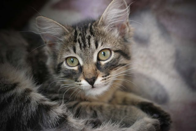 Diarrhea in Cats - Symptoms, Causes, Diagnosis, Treatment, Recovery, Management, Cost