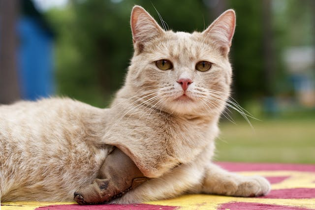 Digit Amputation in Cats - Conditions Treated, Procedure, Efficacy, Recovery, Cost, Considerations, Prevention
