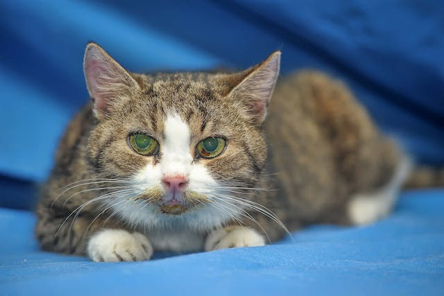 Dislocated Eye Lens in Cats - Symptoms, Causes, Diagnosis, Treatment, Recovery, Management, Cost