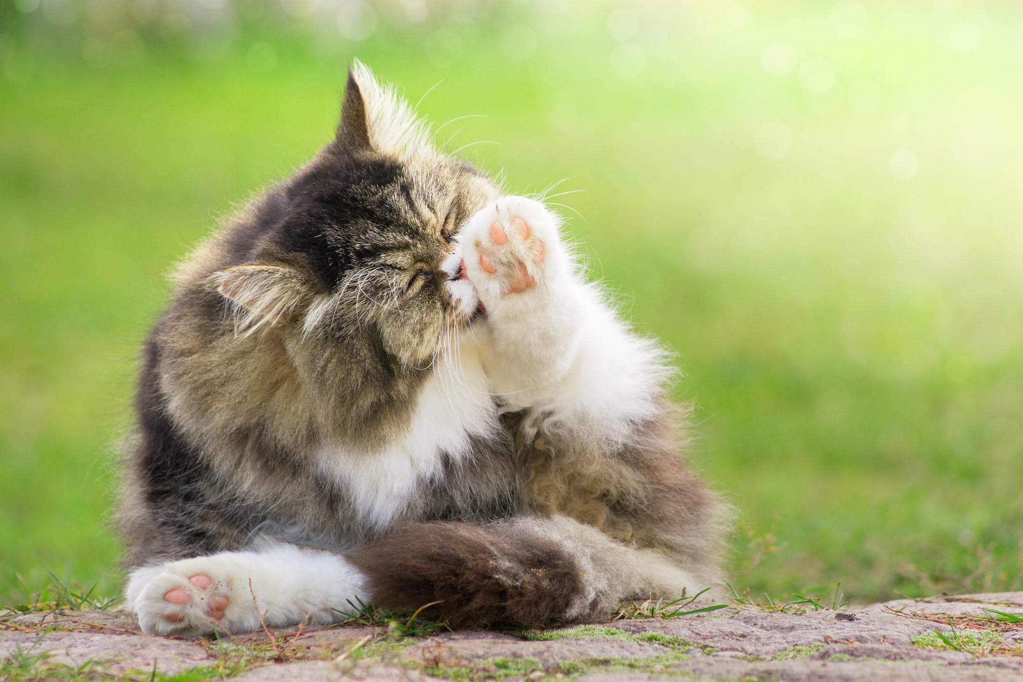 Dreamies Allergy in Cats