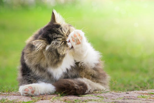 Dreamies Allergy in Cats - Symptoms, Causes, Diagnosis, Treatment, Recovery, Management, Cost