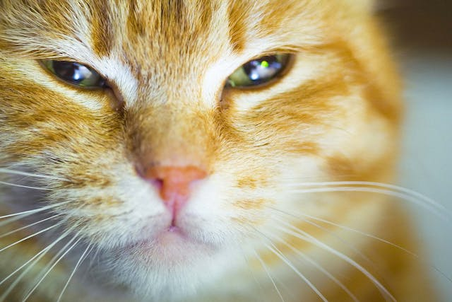 Droopy Eye in Cats - Symptoms, Causes, Diagnosis, Treatment, Recovery, Management, Cost