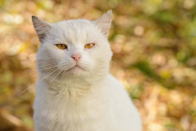 Ear Cancer in Cats - Symptoms, Causes, Diagnosis, Treatment, Recovery, Management, Cost