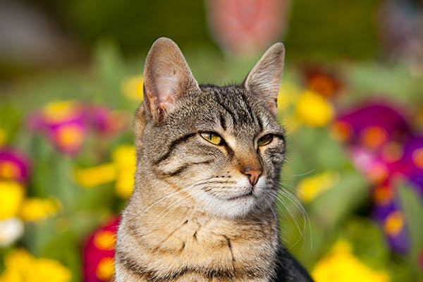 Ear Dermatitis in Cats - Symptoms, Causes, Diagnosis, Treatment, Recovery, Management, Cost