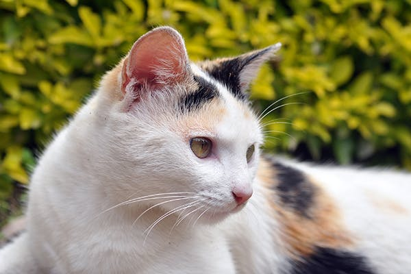Ear Discharge in Cats