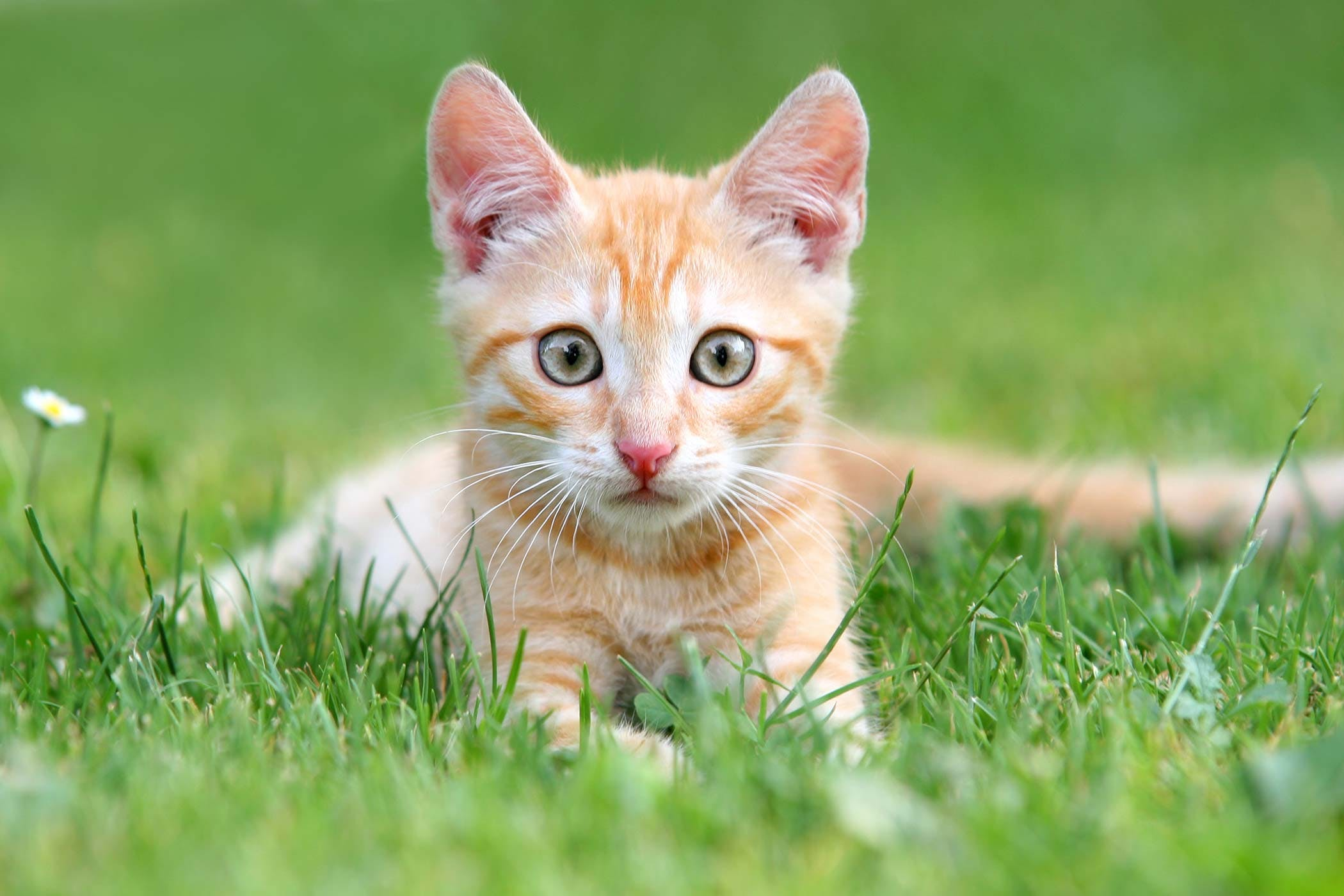 Ear Hematoma in Cats - Symptoms, Causes, Diagnosis