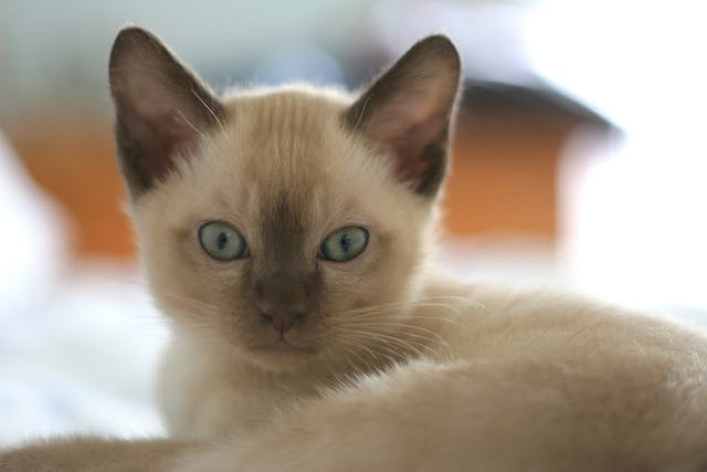 Ear Mite Medication Allergy in Cats - Symptoms, Causes, Diagnosis, Treatment, Recovery, Management, Cost