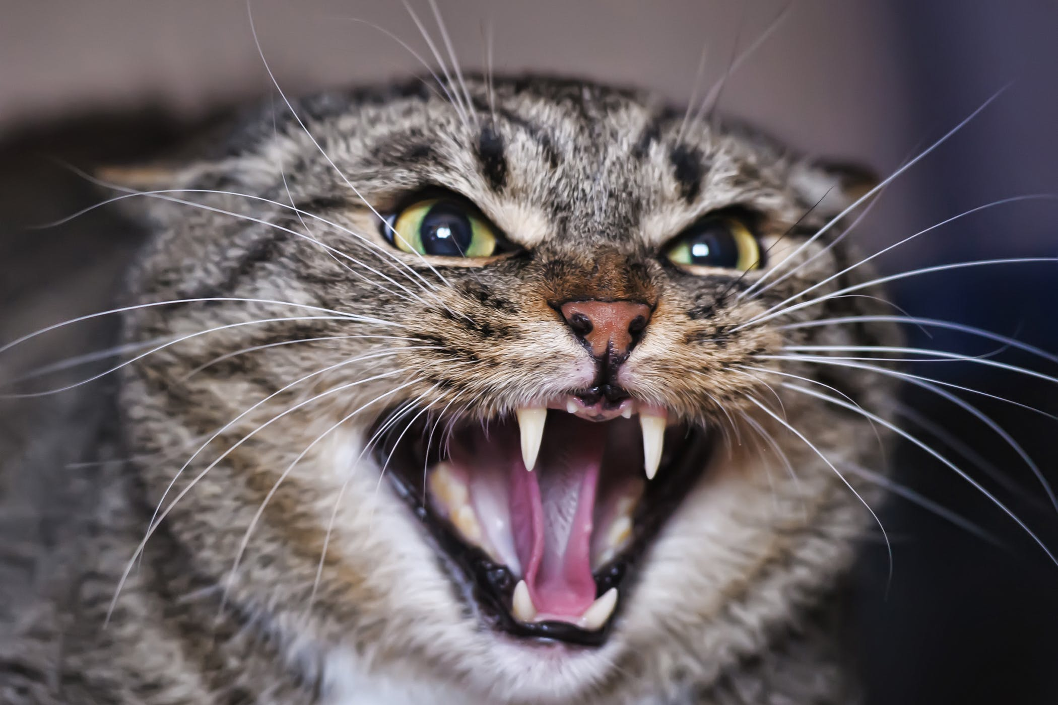 Cat Fangs Stick Out: A Comprehensive Guide For Pet Owners