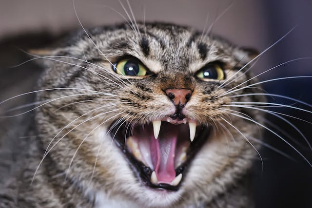 Enamel Allergy (Stomatitis) in Cats - Symptoms, Causes, Diagnosis, Treatment, Recovery, Management, Cost