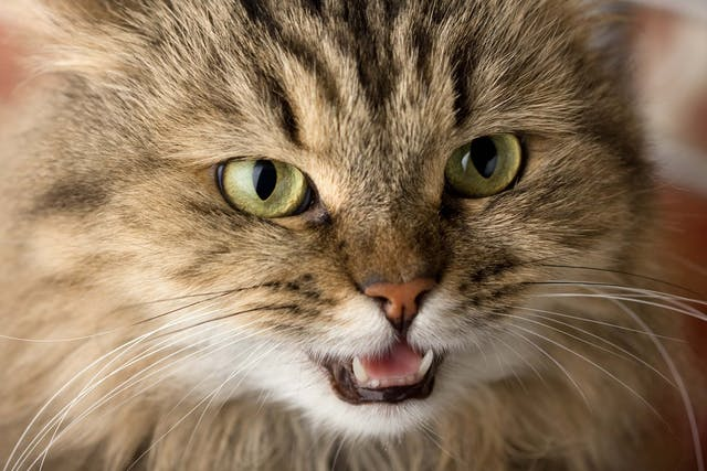 Enlarged Gums in Cats - Symptoms, Causes, Diagnosis, Treatment, Recovery, Management, Cost
