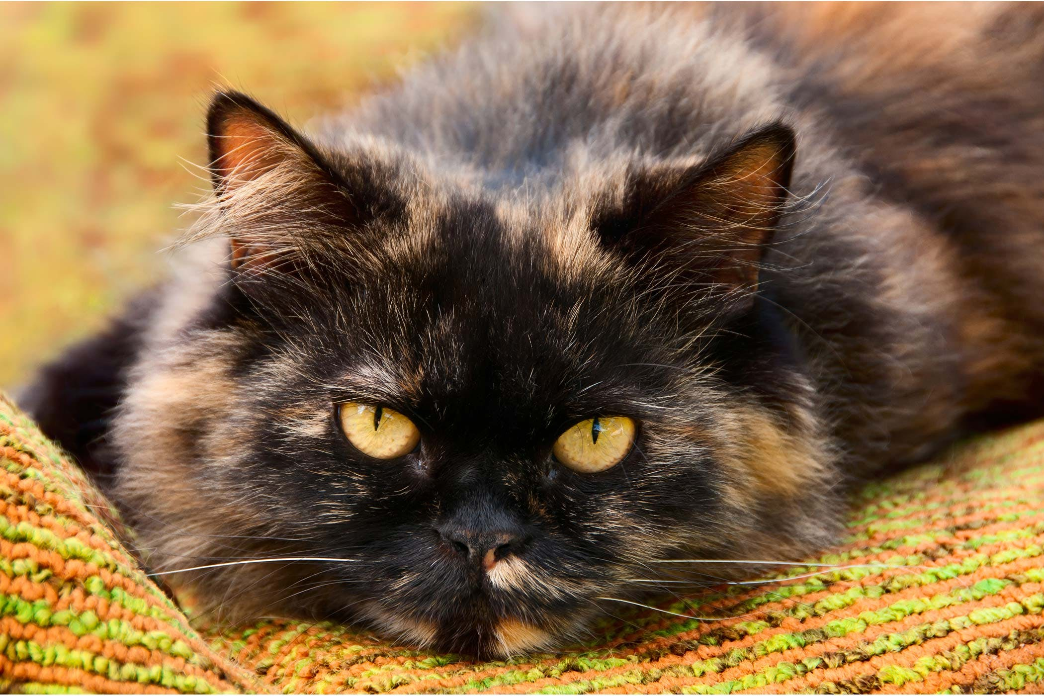 Enlarged Liver in Cats